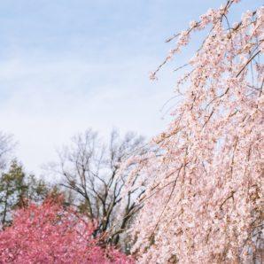 Beautiful pink cherry blossom trees